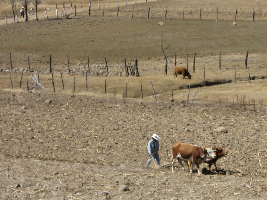 Planting Season in the Sierra Tarahumara Starts with Yolking the Cows.